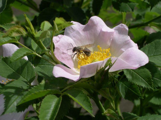 Botanischer Abendspaziergang Bienengärten